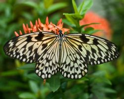 White Monarch Butterfly by Toxicheartproduction