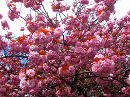 Pink Blossoms -4- by IoannisCleary