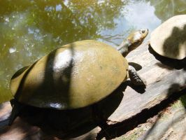 turtle brown by bcamelier