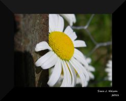 Daisy by the fence post by 3Fangs