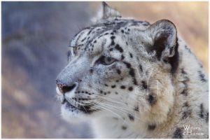 One more Snow Leopard by W0LLE