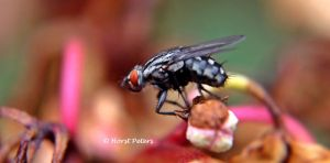 Fliege / The fly 5 by bluesgrass
