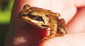 Tiny Froggy by janciss