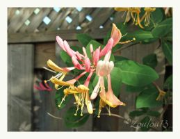 Honeysuckle by Loulou13