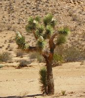 Joshua Tree in Bloom by Synaptica