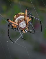 Busy Spider by drhine