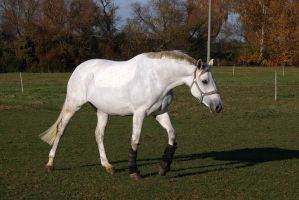 Grey Warmblood Mare Stock by LuDa-Stock