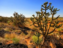 Ocotillos Living With Lava Rock by SharPhotography