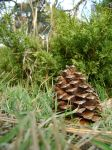 Pinecone by DeathPhantom