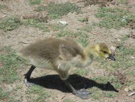 Baby Goose by TheWiseOldMonkey