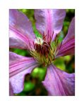 Clematis by Fibreoptic-Snowman