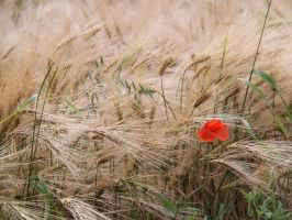 Red in a field of gold by bellaricca