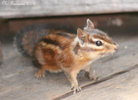 Chipmunk by NTamura
