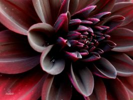 black dahlia by Halla51