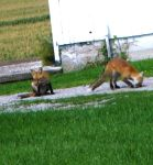 Two Foxs by Melrainbow