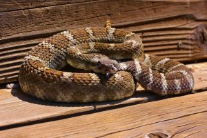 N. Pacific Rattlesnake, CA by Caloxort