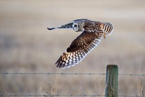 Short-eared owl - Spread your wings by JestePhotography