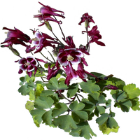 Maroon White Columbines by LilipilySpirit