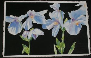Himalayan Blue Poppies by ShelbyGT-500KR