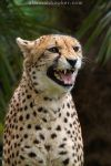 Cheetah 09 by Alannah-Hawker