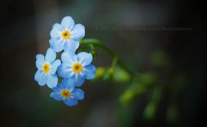 Forget Me Nots by baileysmomentsintime