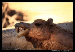 Silly Camel by TVD-Photography