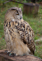 Eurasian Eagle-owl by CAVIA-Piggy