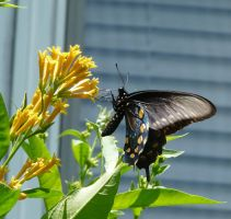 Pipevine Swallowtail by duggiehoo