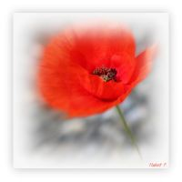Poppy 2 by Hubert11