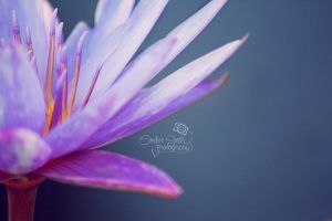 Lily Close-Up II by CandiceSmithPhoto