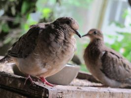 Placid Little Mourning Dove 18 by Windthin