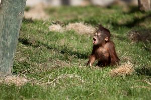 7357 - Baby Orangutan by Jay-Co