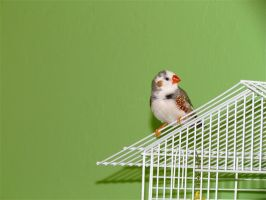 Zebra Finch by Michayla-Marie