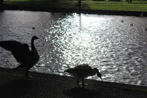 Geese in Shadow by sixtypercentunicorns