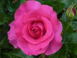 Rose 06 by cemacStock