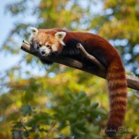 Red Panda relaxing in the autumn by spike83