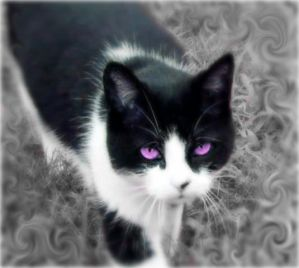 black and white she cat with violet eyes is sweet and caring but ...