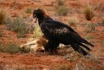 Eagle Lunch by TSVN