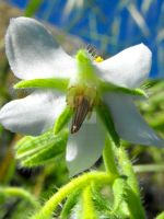 White flowering Borage 2 by floramelitensis