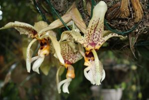 Chocolate orchid 2921 by fa-stock