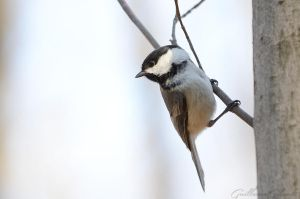 Little Black-capped Chickadee by GuillaumGibault