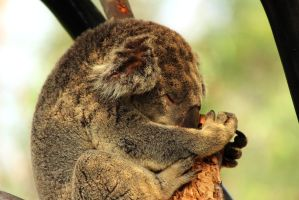 Sleeping Koala by Celem