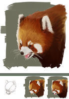 Red Panda Study by stroantree