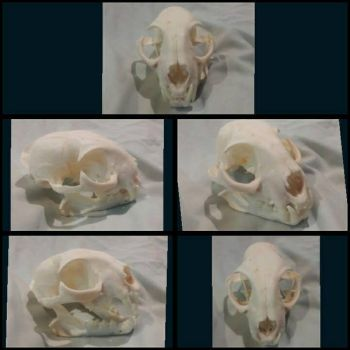 Bobcat skull stock by AlexKJones10123