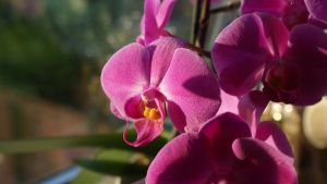 Orchid by Michelle-xD