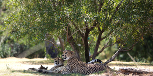 Two Cheetahs by horsecrazyluver