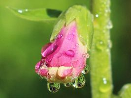 Waterdrops on a Pink Flower by AgiVega