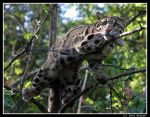 Portrait of a Clouded Leopard by UrsusAmericanus