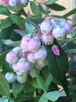 Flowering Blueberry Bush by DaynaLuvsToRock