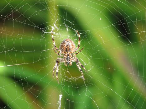 Garden Spider by netguru